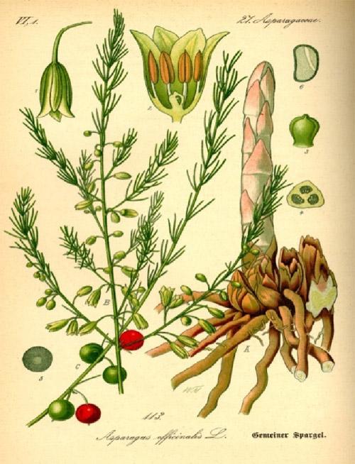 Tìm hiểu về măng tây - măng tây sấy khô